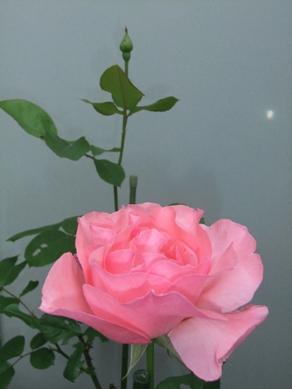 2015 薔薇2.JPG