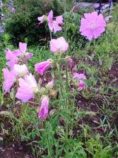 ピンクのお花 夏.jpg