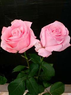 ピンクの大輪のバラ.jpg