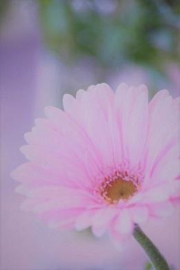 ピンク色のガーベラa (2).jpg