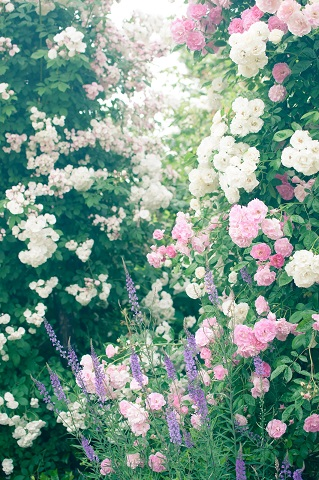 蔓と薔薇.jpg