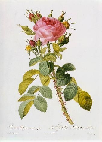 Rosa Bifera Macrocarpa.jpg