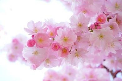japanese-cherry-trees-2.jpg