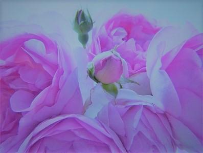 rose-ピンク色2 (2).jpg