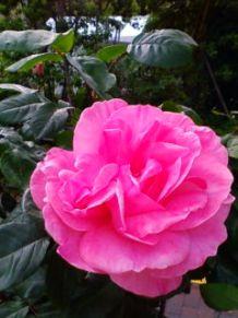 日比谷公園ちかくの薔薇.jpg