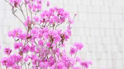 azalea-ツツジ2_2.jpg