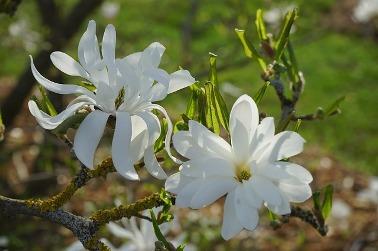 star-magnolie.jpg